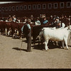 E.E. Brocklebank Judging Junior Calves - North Battleford Fat Stock Show.  North Battleford.  05/21/1945