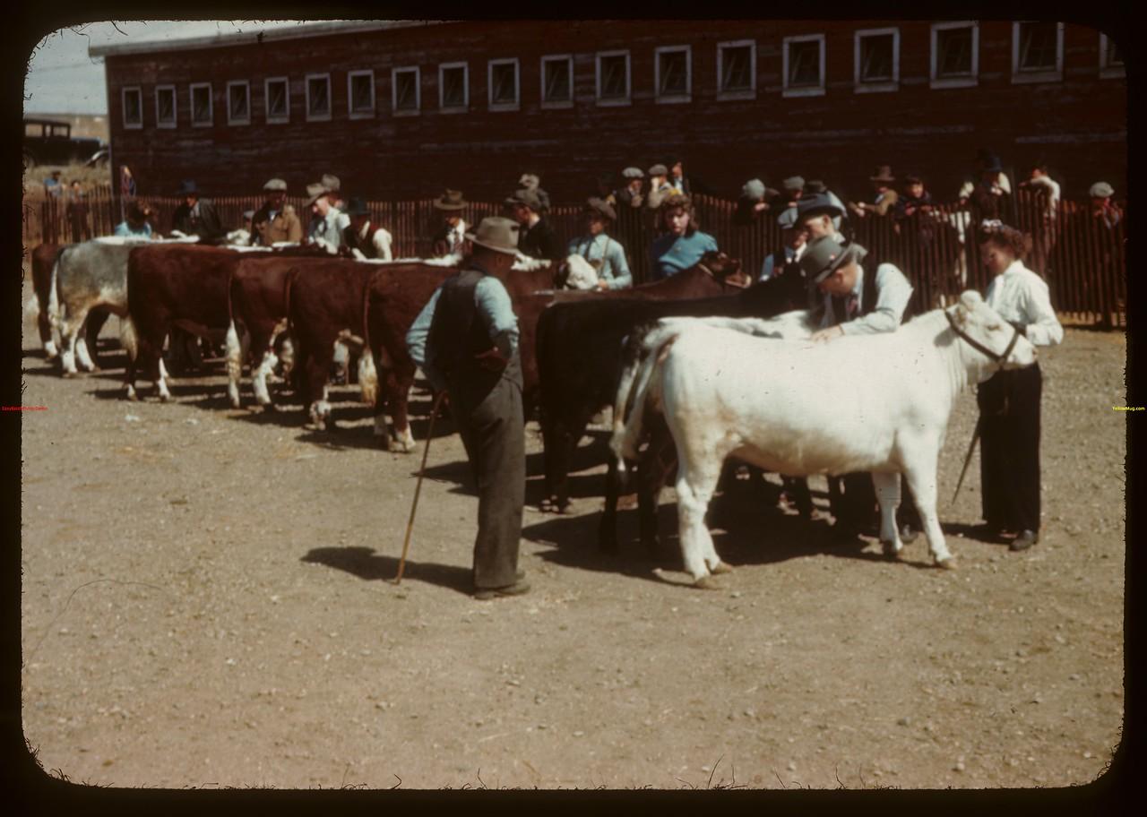 E.E. Brocklebank Judging Junior Calves - North Battleford Fat Stock Show.  North Battleford.  05/21/1945