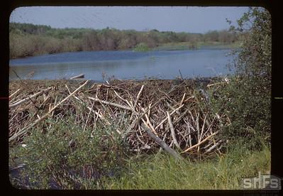 Beaver dam in Deer Creek. 08/15/1945