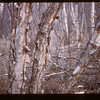 Natural Birch	 Loon Lake	 04/30/1944