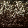 "Apple Blossoms - ""Irrigation"" Mental Hospital.  North Battleford.  06/15/1945"