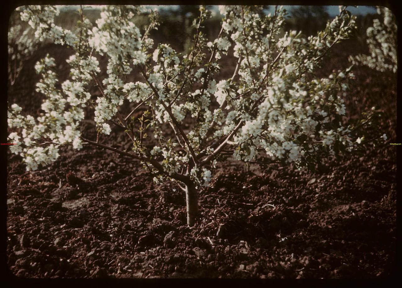 "Apple Blossoms - ""Irrigation"" Mental Hospital.  North Battleford.  06/15/1945"