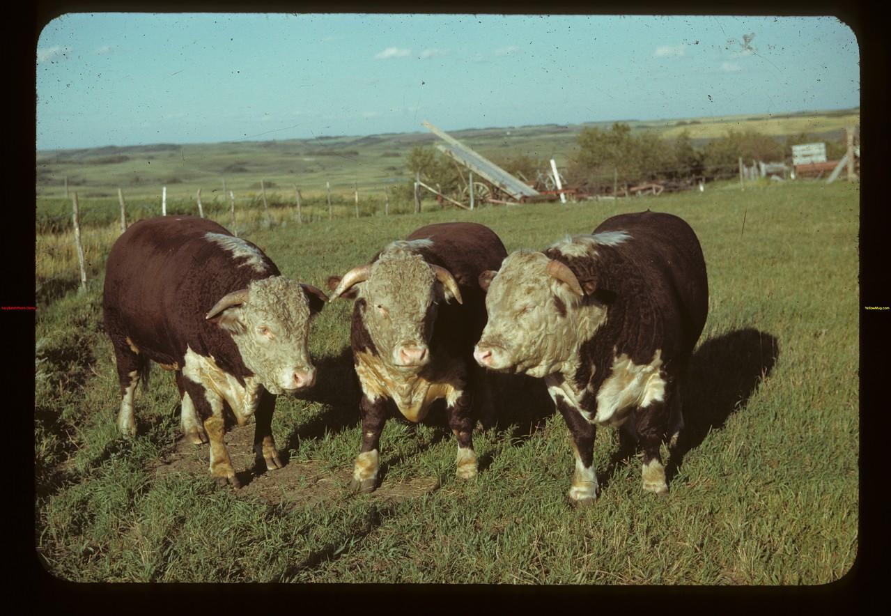 Registered Herfords - J. S. Palmer Marseden 08/18/1942