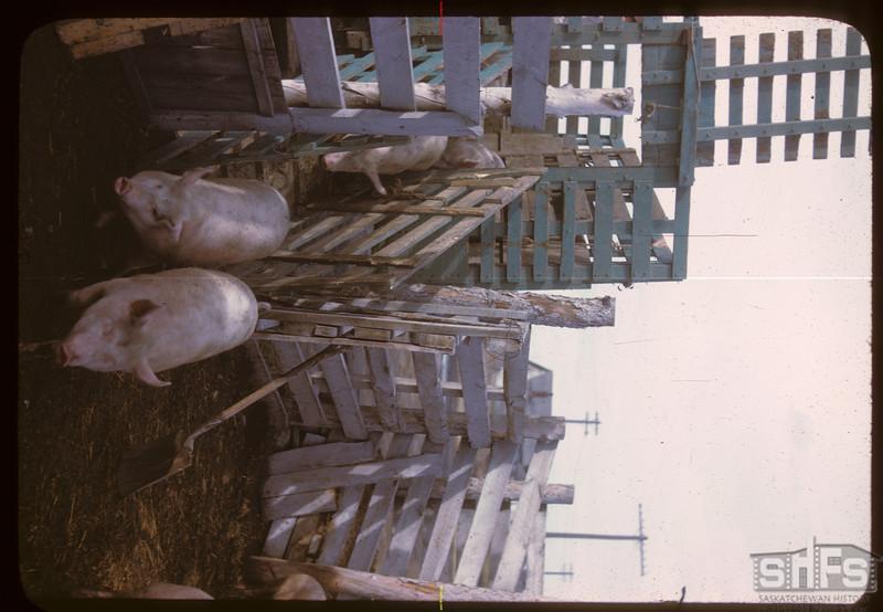New Livestock Poll market building..  North Battleford.  10/07/1946