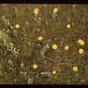 False Dandelion	 Frenchman Butte	 01/01/1942