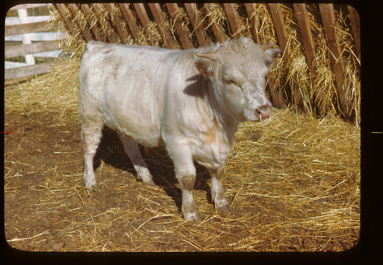 Something special in the little shorthorn bull - Dominion Experimental Farm. Melfort 09/28/1946