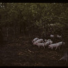 Mr. Moeller and pigs. Loon River. 05/27/1942