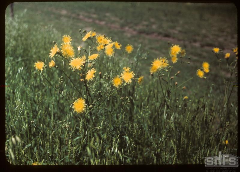 Sow Thistle.  North Battleford.  07/21/1949