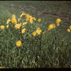 Sow Thistle.  North Battleford.  07/21/1949