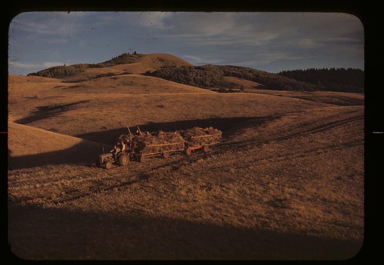 Homeward bound with hay. Cypress Hills. 08/27/1948