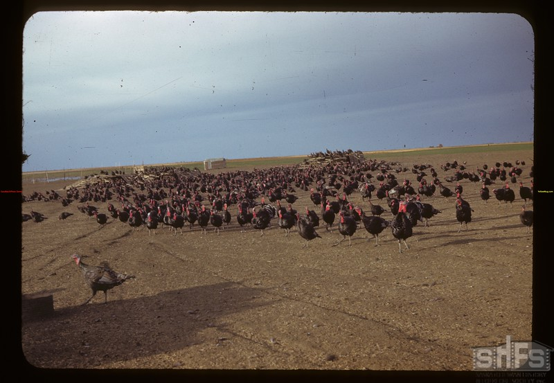 The W. J. Kaltenbruner's 1200 turkeys. 275 hens & 30 toms. Last spring sold 3000 poults.  Not tough enough for outdoors til 9 weeks old - wire floors.  Now feeding 90 bushels of barley or wheat daily. Drinkwater 10/03/1942