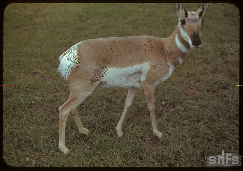 Antelope - Moose Jaw Wild Animal Park. Moose Jaw 08/31/1942
