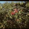 John Davidson in orchard.	 Buffalo Horn	 09/11/1948