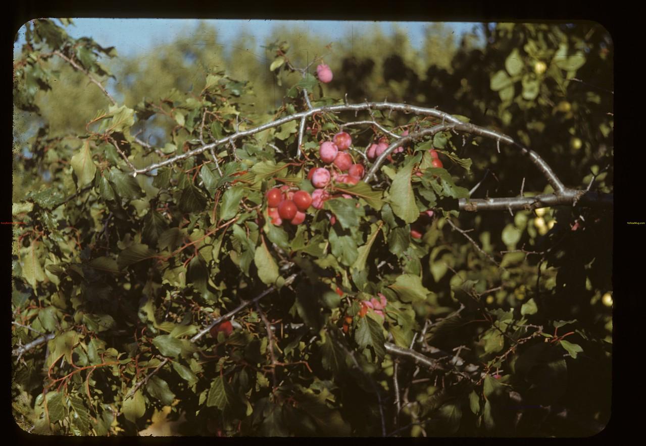 John Davidson in orchard. Buffalo Horn 09/11/1948