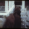 Loading cattle early morning.  St. Walburg.  09/02/1944
