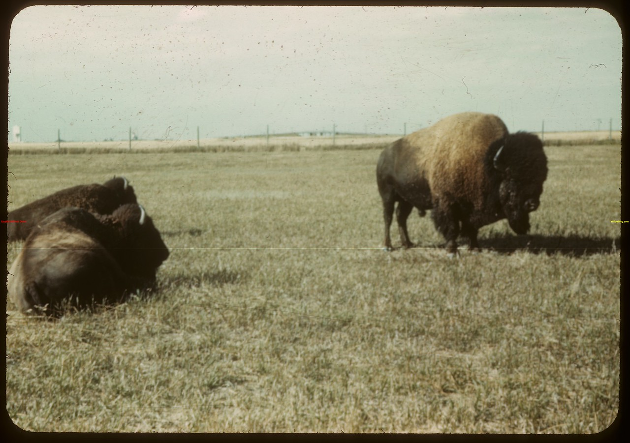 Buffalo - Moose Jaw Wild Animal Park. Moose Jaw 08/21/1943