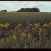 Goldenrod & wheat. Maidstone 08/04/1942