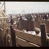 Unloading shutes Calf Club Show & Sale. Aneroid. 06/08/1949
