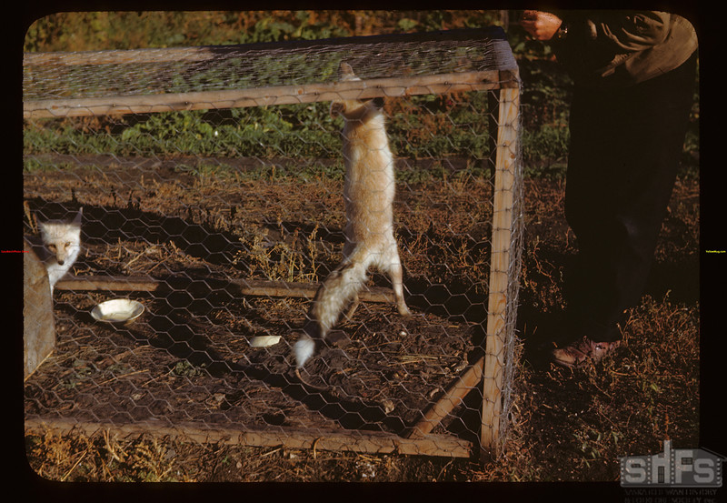 Captive fox pup.	 Melfort	 09/25/1946