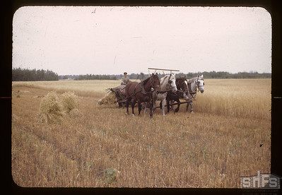 Harvesting oats. Brightsand. 11/23/1954.