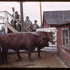 Two steers sold for over $180 each - Union Stock Yards..  Prince Albert.  05/30/1944