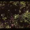 Bunchberries Horsehead River S. Makwa Loon Lake 06/28/1943
