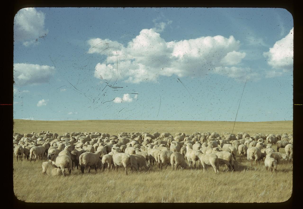 Clark Foster's 500 sheep. Claydon. 08/28/1942