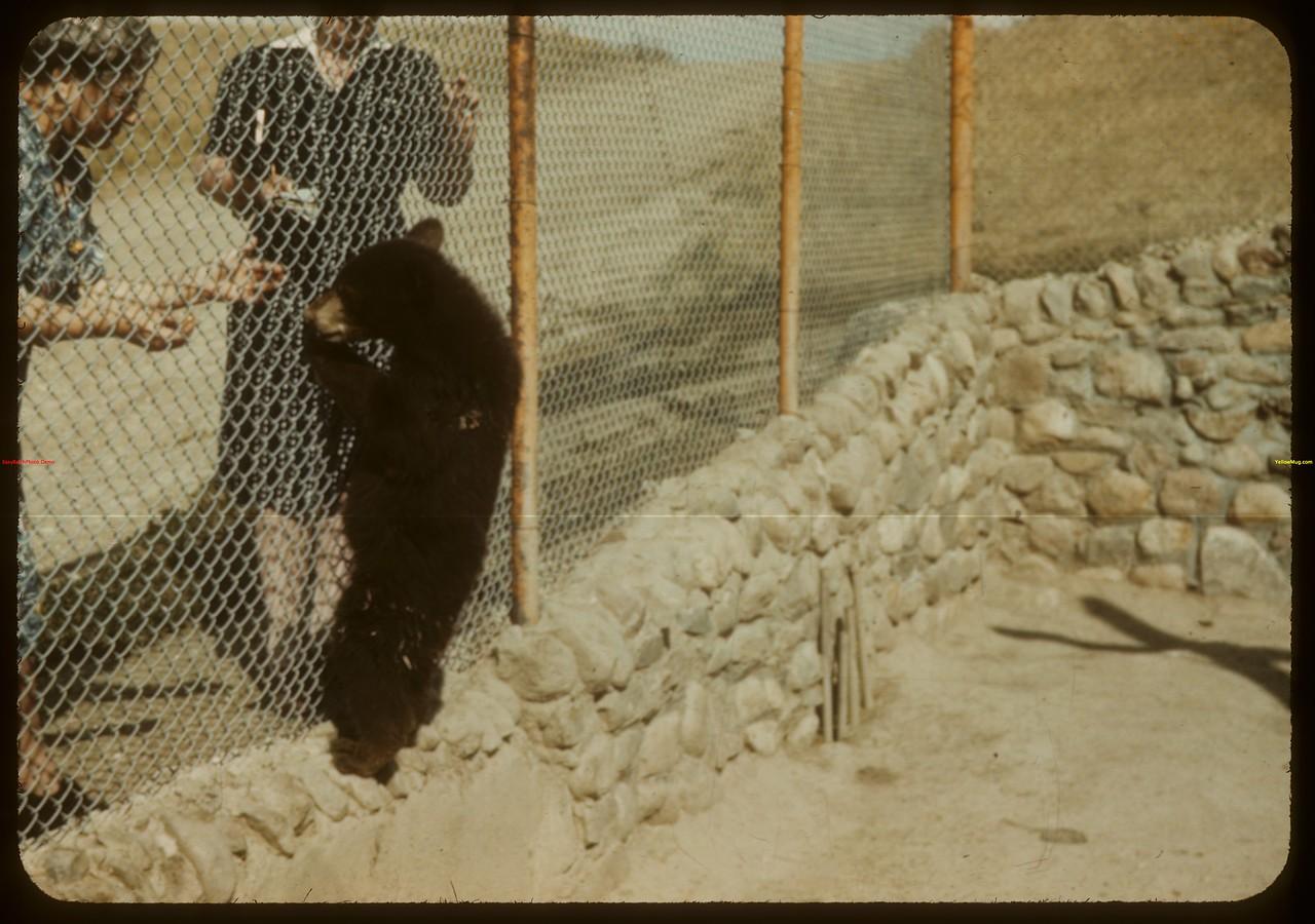 """""""Poor Bobby Bear"""" - Moose Jaw Wild Animal Park. Moose Jaw 08/20/1943"""