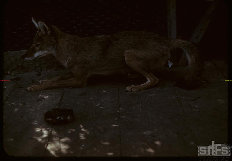 Coyote - Moose Jaw Wild Animal Park. Moose Jaw 08/20/1943