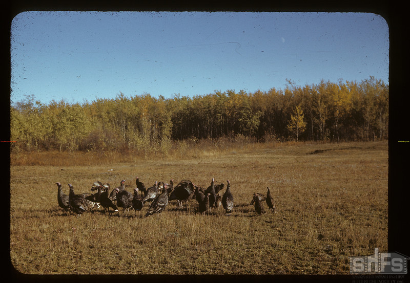 Poultry Pool ahead [flock of turkeys] near Cleeves. 09/27/1941