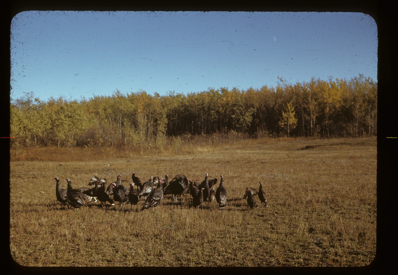 Poultry Pool ahead [flock of turkeys] near Cleeves. 09/27/1941