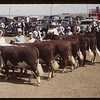 A fine line-up Calf Club show and sale.	 Aneroid.	 06/08/1949