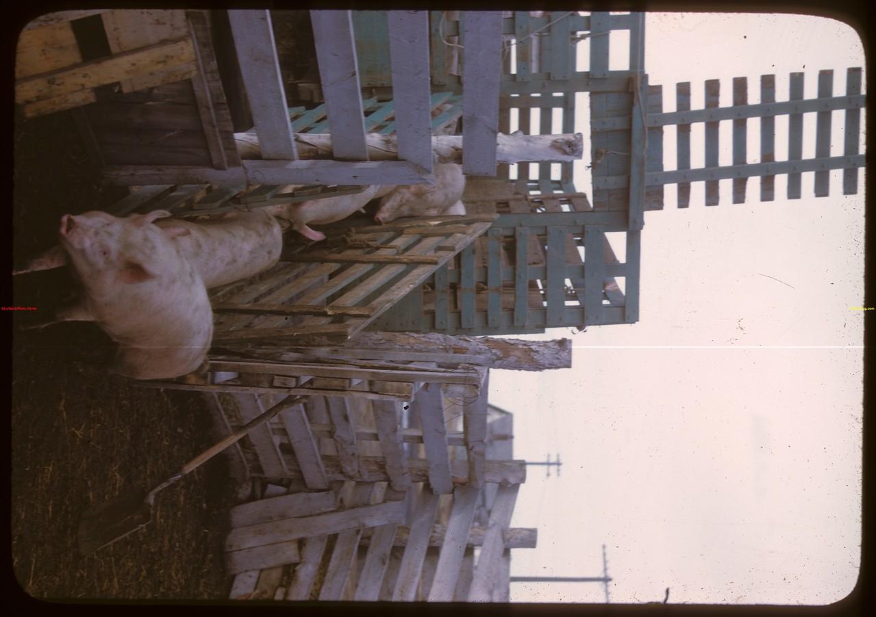 Unloading Livestock Pool truck [hogs]..  North Battleford.  10/07/1946