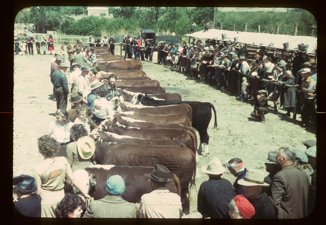 Eastend calf club - line-up. Eastend 06/01/1949