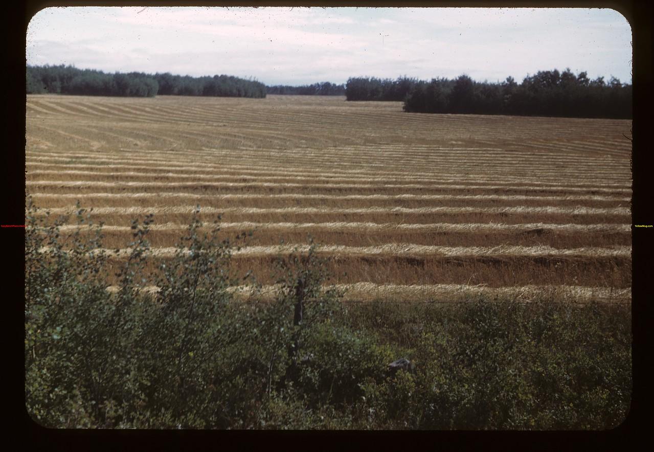 Swathed grain east of MacNutt MacNutt 09/02/1949