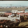 Yards full and 37 trucks waiting in line at Regina Co-op stock yards..  Regina.  10/27/1947