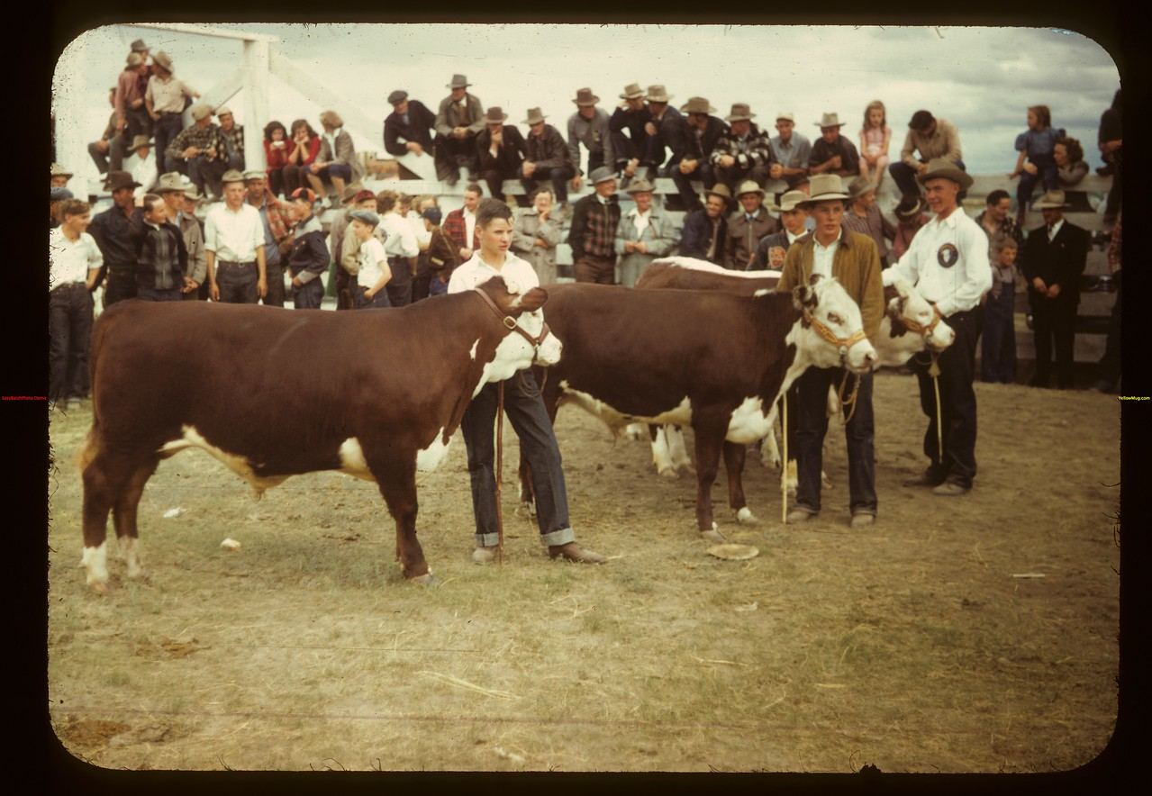 Some good calves - Floyd Pelkey and Donald Schwindt	 Consul	 05/31/1949
