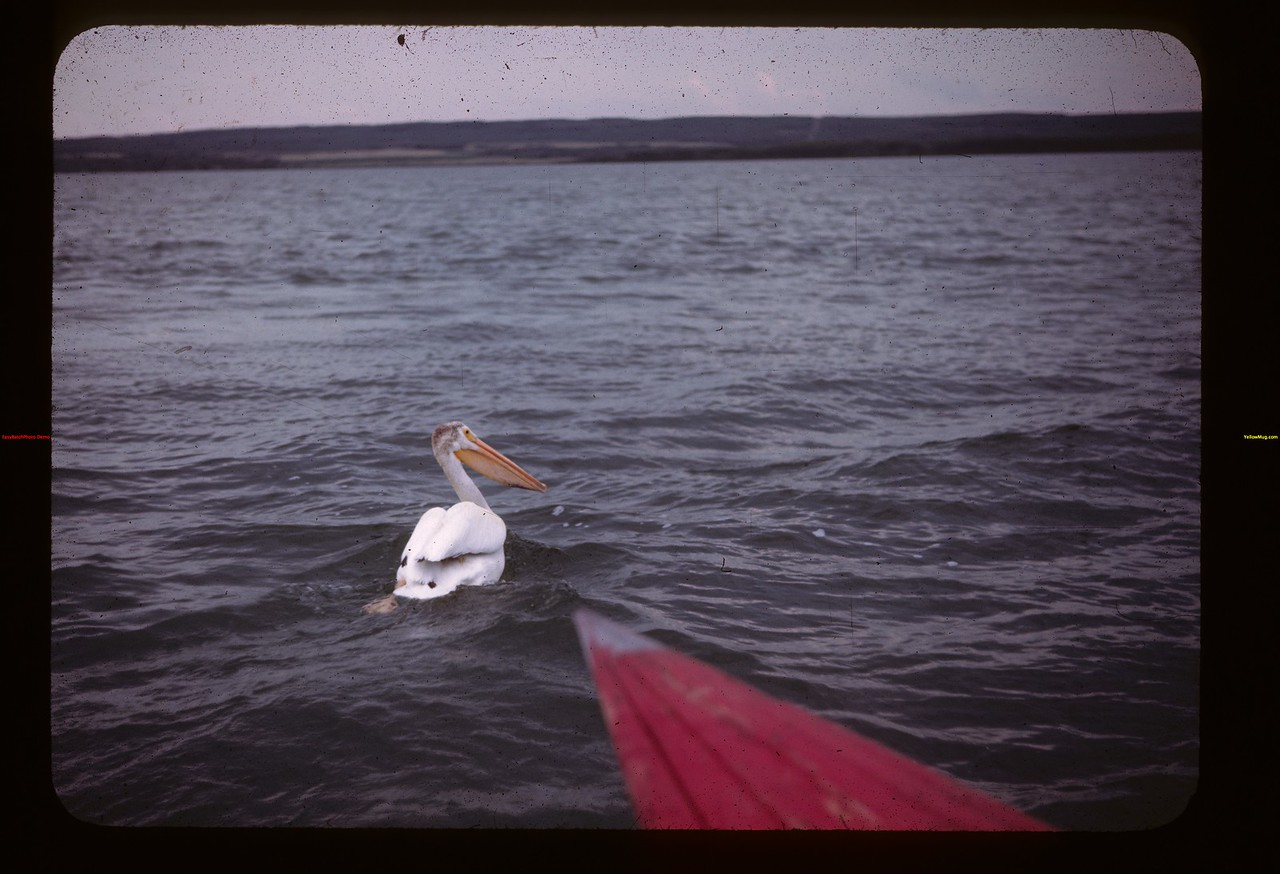 Wounded pelican - Island Lake. Goodsoil 08/18/1945