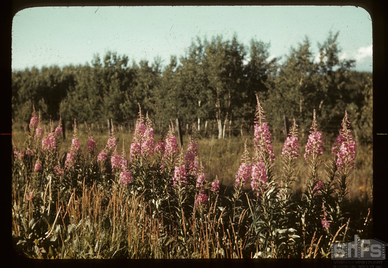 Fireweed. Cater 07/28/1944