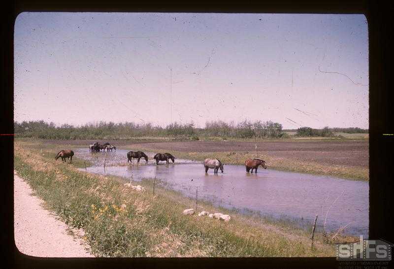 Horses fighting Nose-flies Elfros 07/21/1946