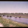 Horses fighting Nose-flies	 Elfros	 07/21/1946