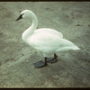 Whistling Swan - Moose Jaw Wild Animal Park.	 Moose Jaw	 08/31/1942