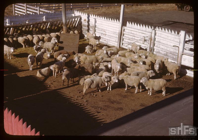 Sheep - west side Livestock Pool stock yards.  Regina.  10/22/1946