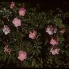 Roses.  North Battleford.  06/15/1942