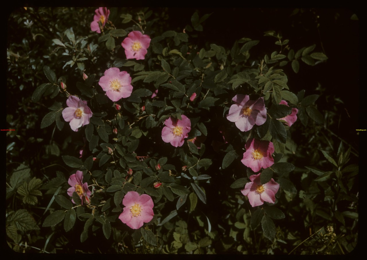 Roses.  North Battleford.  06/15/1942