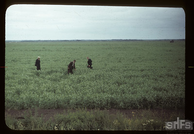 Crops on Carrot River co-op farm. 07/18/1949