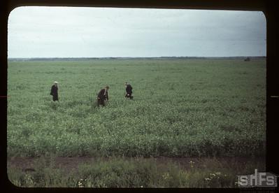 Crops on Carrot River co-op farm. 07/18/1949