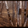 Vandalls Kill Beatiful Birch	 Loon Lake	 04/30/1944