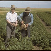 Anton Dynneson and Dave Mitchell with flood irrigated potatoes.  Shaunavon.  08/18/1948