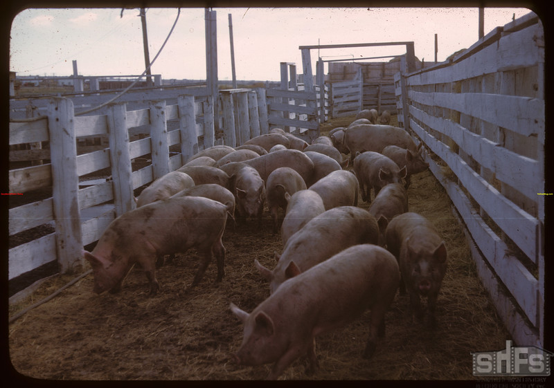 Through the alleys - loading Pool hogs..  North Battleford.  10/07/1946